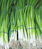 Семена лука на перо Страда Тирас