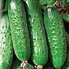 Семена огурца Авенсис F1 500 сем. огурец самоопыл. Професійне насіння