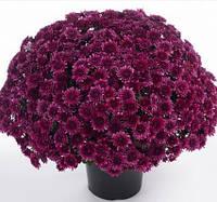 Хризантема шарообразная АВАЛОН ПУРЛЕ, фото 1