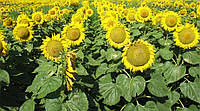 Семена подсолнечника Тунка (Limagrain)