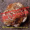 Пория кокосовидная (экстракт 50% β-глюканов)