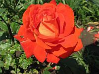 Роза чайно-гибридная Стар 2000