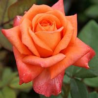 Роза чайно-гибридная Ловерс Митинг