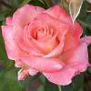Роза чайно-гибридная РВМ