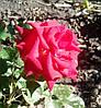 Роза спрей Красная Руби Стар