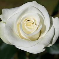 Роза Спрей Вайт