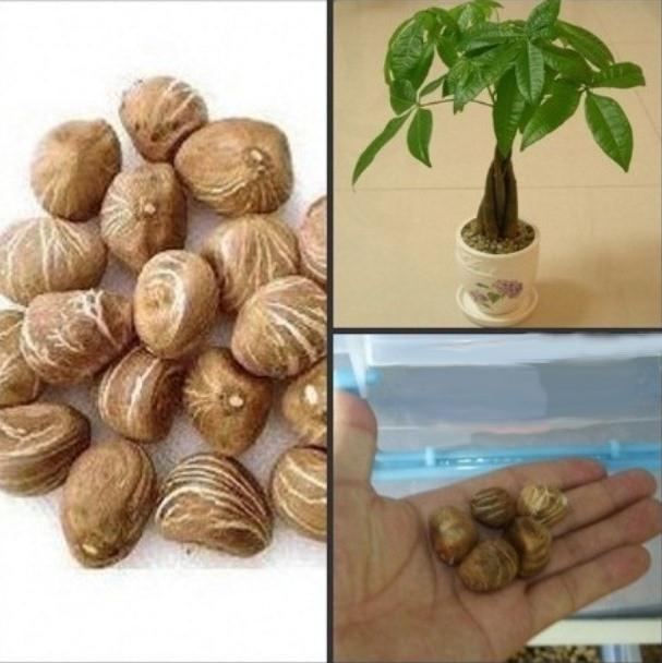 Денежное дерево - очень оригинальный дизайн растения у вас дома или в офисе ( бонсай - японское дерево) 1 семя - Тисячі товарів для всіх !!! Тысячи товаров для всех !!!  в Хмельницком