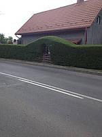 Бирючина-идеален кустарник для живых изгородей