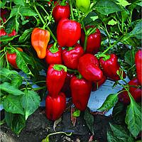 Семена перца Анетта (E20W.38629) F1 500 сем. Enza Zaden