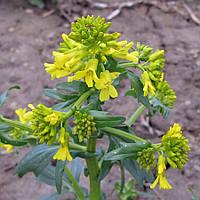 Сурепка обыкновенная (Barbarea vulgaris ), трава - 50 грамм