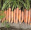 НЕРАК F1 - семена моркови Нантес PR (1,6-1,8 мм), 1 000 000 семян, Bejo Zaden