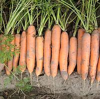 НЕРАК F1 - семена моркови Нантес PR (1,6-1,8 мм), 1 000 000 семян, Bejo Zaden, фото 1