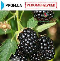 Саженцы ежевики сорт Бжезина (Bgezina)
