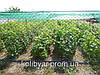 Саженцы  винограда  универсального Аэлита