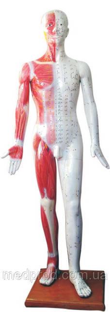Модель муляж тела мужчины 180 см