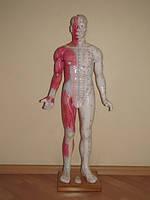 Модель муляж тела мужчины 85 см