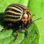 Инсектициды (вредители)
