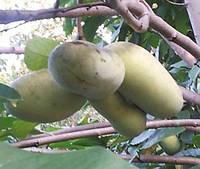 Саженцы самых крупноплодных в мире сортов азимины.