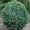 Самшит вечнозеленый, контейнер С3