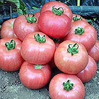 Семена томата Дикая роза 1 гр. Элитный ряд