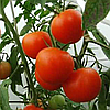 Семена томата Зинаида F1 1 гр. Элитный ряд