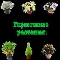 Новогодние горшечные растения | Разное
