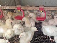 Цыплята  КОББ 500