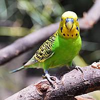 Волнистый попугай Хвилястий папуга