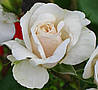 Канадская парковая роза Вайс Волке.