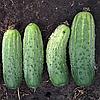 Семена огурца Бланка F1 500 сем. Sakura