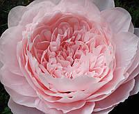 Декоративный пион из бумаги, цвет нежно-розовый