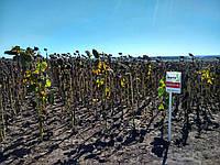 Семена подсолнечника  АС33101КЛ гибрид устойчив к ИМИ, фото 1
