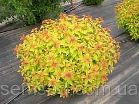 "Спирея японская "" Голдфлейм "" spiraea japonica goldflame ( саженец 2 года ЗКС), фото 3"