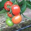Семена томата Байконур F1 250 сем. Enza Zaden