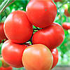Семена томата Е15B.50205 F1 250 сем. Enza Zaden