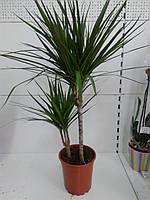 Драцена marginata (17/85) ОРА АГРО-ЕКО