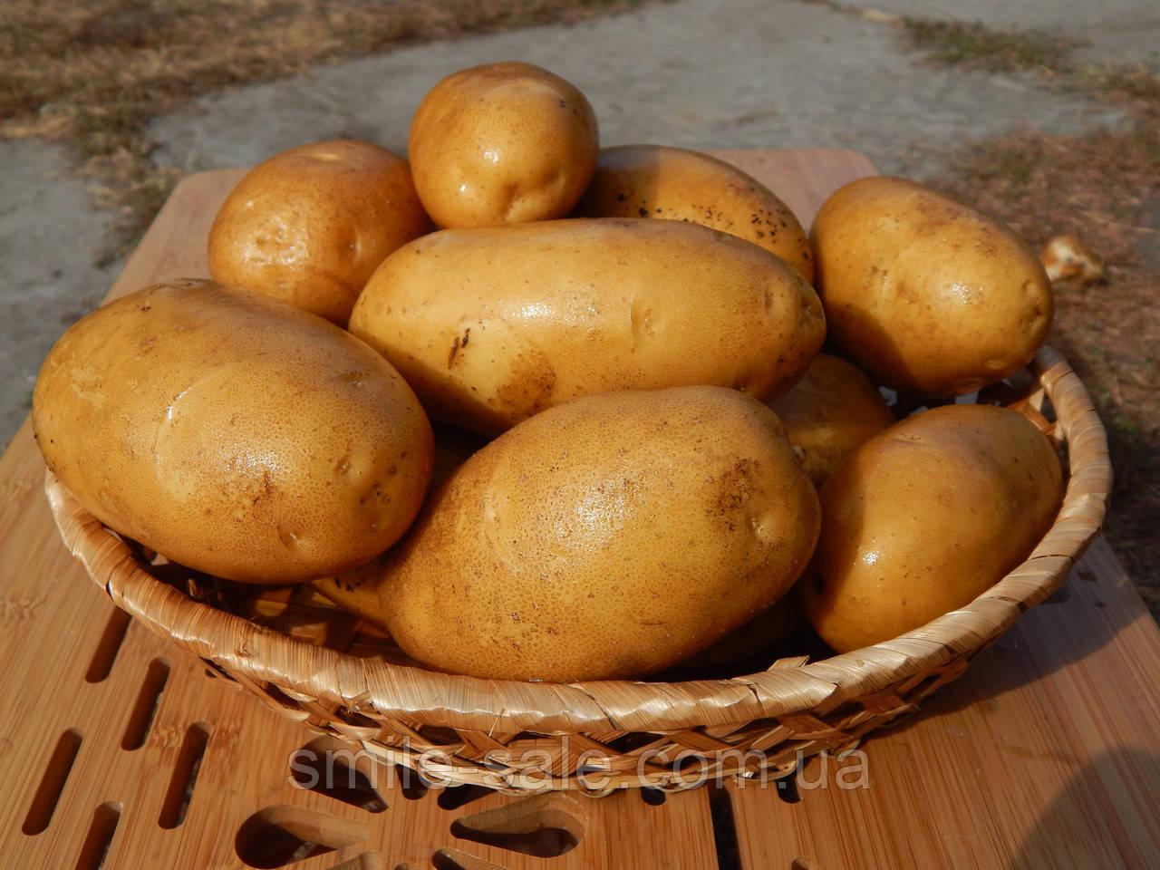 Картопля лісова (Лесной Картофель) Элита 1кг Еко-Картофель СОРТ ЭСТРЕЛЛА
