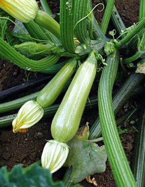 СЦИЛЛИ F1 / SCILLY F1 - кабачок, Seminis 500 семян