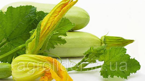 Кабачки и цуккини – как сажать овощи