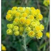 Бессмертник песчаный, цмин-цветки (Helichrysum arenariym)