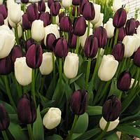 Набор луковиц тюльпанов Чёрно-белый 7 луковиц, фото 1
