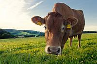 Годівля дійних корів в осінньо-зимовий період