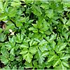 Семена сельдерея Верде ди Таглио 50 гр. Коуел (Хортус)