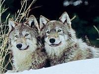 Алмазная вышивка Пара волков KLN 31 х 40 см (арт. FS287)