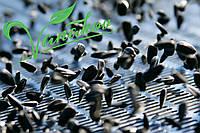 Калибровка семечки подсолнечника