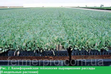 Рис. 2. Калифорнийская технология выращивания рассады (8-недельные растения)