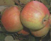 Яблоки Чемпион
