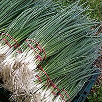 Семена лука на перо Лонг Уайт Кошигая  F1 50 гр. Sakata