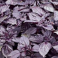 Семена базилика фиолетового Дарк Перпл  25 гр. Semo
