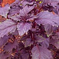 Семена базилика фиолетового Опал 5 гр. Semo